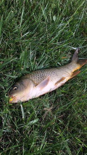 Fish Beauty In Nature Suburban Nature Macomb Michigan Beautiful Wonderful Naturesbeauty Pond Carp Fishing Day Lifestyles Culture