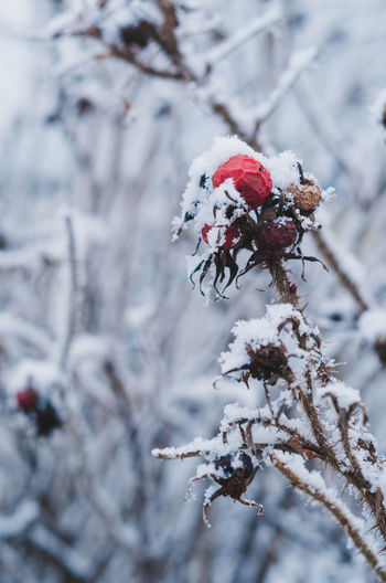Close-up of red flower on tree during winter