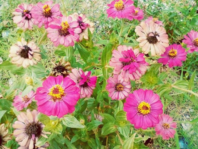 pink zinnia in the field Flower Nature Pink Color Growth Fragility Outdoors No People Plant Petal Flower Head Beauty In Nature Day Freshness Blooming Eastern Purple Coneflower