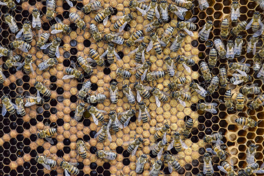 A dense cluster of swarms of bees in the nest. Working bees, drones and uterus in a swarm of bees. Honey bee. Accumulation of insects Animal Animal Themes Animal Wildlife Animals In The Wild Apiary APIculture Backgrounds Bee Beehive Beeswax Busy Cell Colony Day Full Frame Honey Honey Bee Honeycomb Honeycomb Insect Large Group Of Animals Pattern Pollinator Propolis Swarm