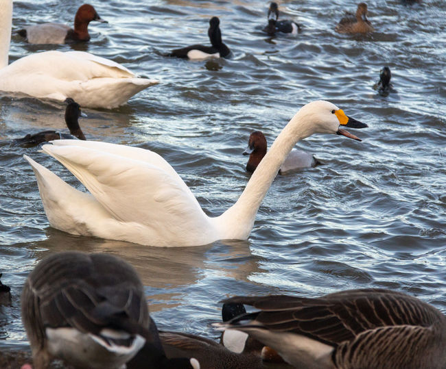 Bird Water Group Of Animals Swan Lake Floating On Water Duck Rippled Flock Of Birds Bewick's Swan