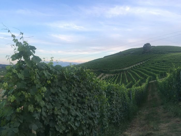 Wine Roero Piedmont Italy Growth Plant Sky Green Color Beauty In Nature Landscape Agriculture Nature Tranquility