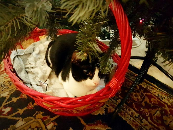 Deep thoughts....Pets One Animal Animal Themes Domestic Animals Mammal No People Indoors  Christmas Decoration Close-up Day Black And White Cat Cutenessoverload💙💖💙