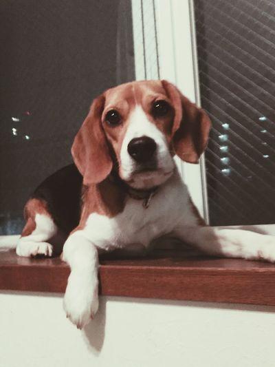 Beagle Ryuu Dragon Babyboy Cute Dog  Handsome