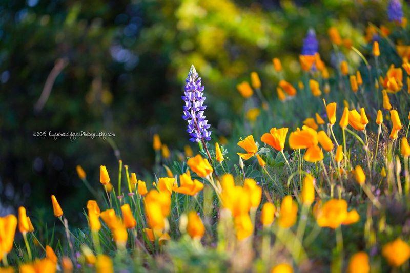 California Poppy's & Lavender California Poppies California Poppy Lavender Santa Monica Mountains Topanga Topangacanyon Topanga Ca Wildflowers Wild Flowers Flower Photography