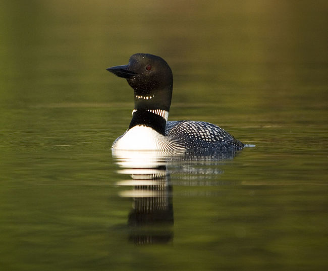 Close-up of loon swimming on lake