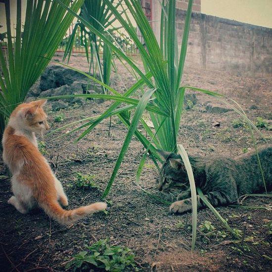 Cacería: Frida vs Diego! Frida Diego Gatos CatsDays Home Family Models Animals Gatto Kotka Katzen Gat Macska Kot Kit