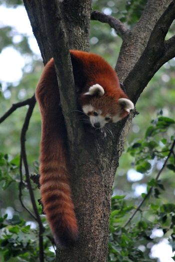 Close-up of red panda in tree