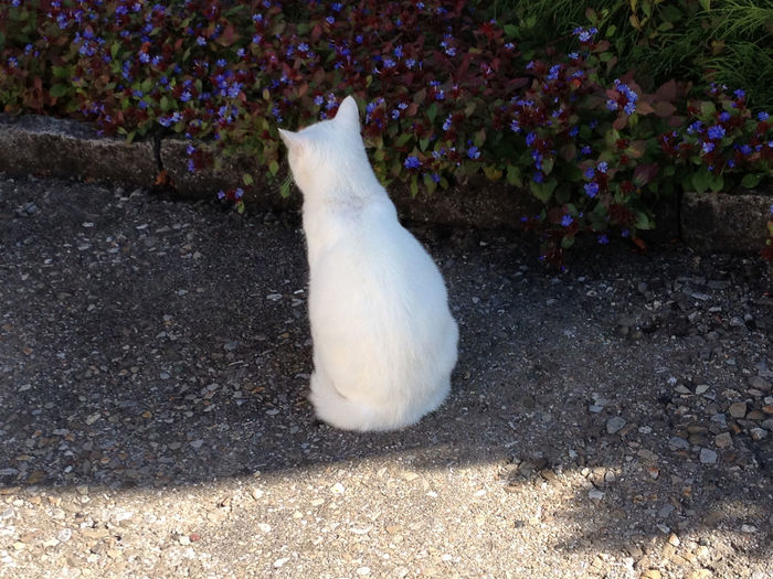 A Beautiful Back Can Delight Photography September 2017 White Cat In The Shade Animal Themes Cat Close-up Day Domestic Animals Domestic Cat Feline Flower High Angle View Mammal Nature No People One Animal Outdoors Pets White Color