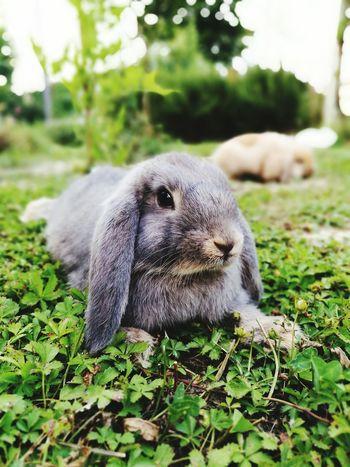 Bunnys Grey Nature Garden Photo Tomorrow Rabbit Liberty Photography Gallery EyeEm Naturelover Green Summer Animals PH. by HUAWEI P9