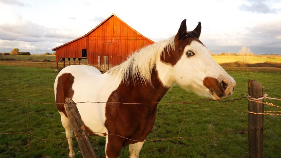 Horse Domestic Animals Animal Themes Mammal Livestock One Animal Paddock Standing Cloud - Sky No People Barn Grass Outdoors Nature Day Stable Field Sky