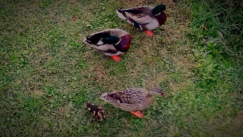 MalladDucksEating💞💞💞💞 Animal Themes Bird High Angle View Nature No People Grass Day Outdoors Eyeemnaturelover Eyeembestshot_landscape Fulllength Nature Beauty In Nature EyeEmBestShot's Mallard Duckling MallardDuckFamily💕💕💕💕