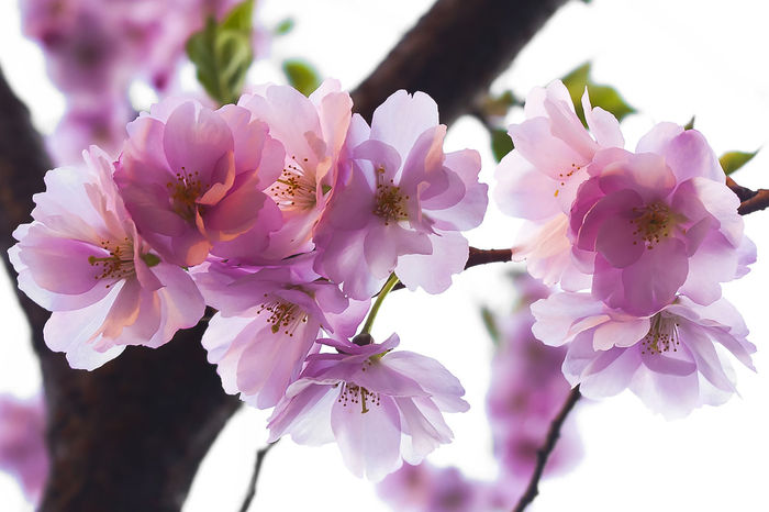 Sakura in bloom. Background Beauty In Nature Cherry Close-up Day Floral Flower Flower Head Freshness Garden Japan Leaf Natural Nature No People Outdoors Pink Color Plant Plum Blossom Sacura Season  Springtime Tree