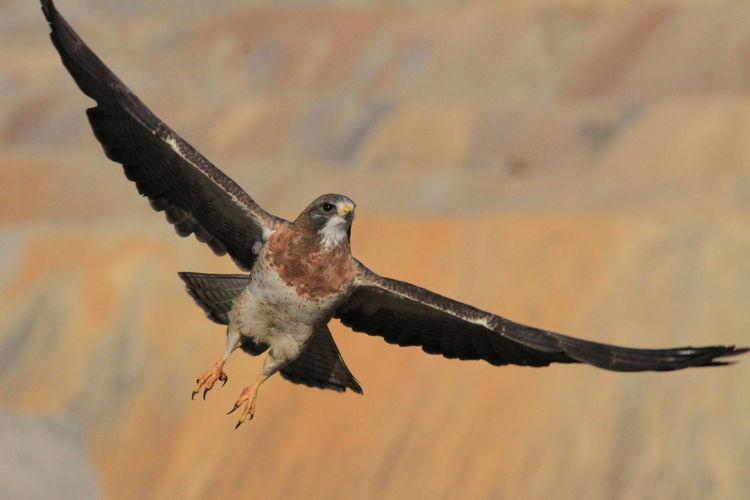 Swainson's Hawk Birds In Flight Birds Birds Of EyeEm  Birds_collection Birds🐦⛅ Birds Wildlife Predator Falcon Raptor Bird Bird Of Prey Flying Spread Wings Desert Close-up Sky Animal Themes