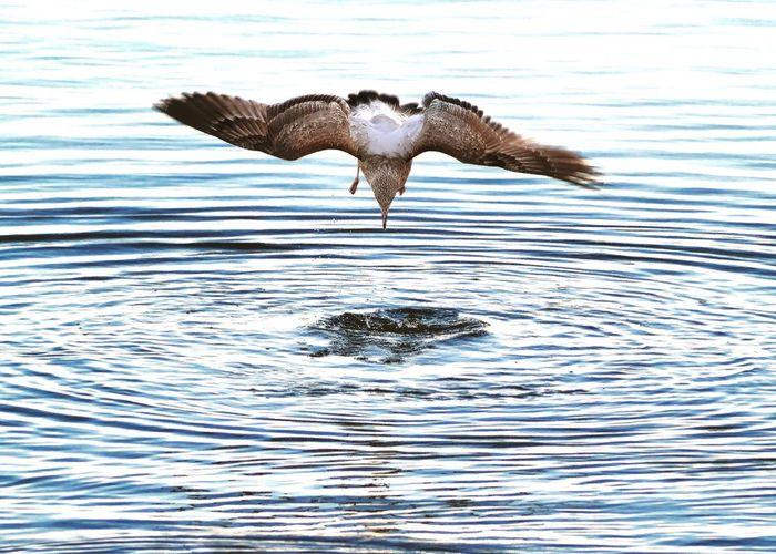 Bird Photography Birds Birdwatching Seagull Hunting Widnes