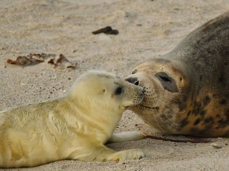 • no title required... • EyeEm Best Shots - Nature EyeEm Nature Lover Helgoland_collection Helgoland Wildlife Young Animal Grey Seal Pup Grey Seal Animals In The Wild Animal Themes Animal Animal Wildlife Group Of Animals Mammal Land Sand Nature No People Two Animals Beach Togetherness Day Seal - Animal