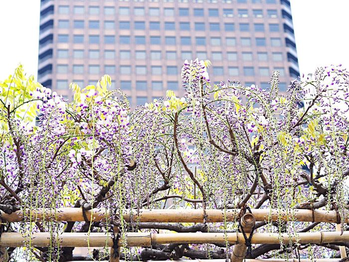 Flower Skyscraper City Architecture Building Exterior Built Structure Growth Nature Beauty In Nature Freshness Wisteria 藤の花 藤棚 Purple Purple Flower White White Color White Flower Hamamatsucho 浜松町 Tokyo,Japan Olympus Om-d E-m10