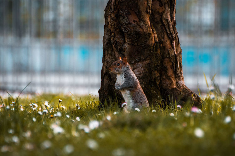 Animal Wildlife Animals In The Wild Bokeh Bokeh Photography Close-up Daisies Focus Focus Object Grass Ground Level View Mammal Nature Lover Nature Photography Nikonphotography Park Squirrel Standing Tree Trunk Wildlife & Nature Wildlife Photography