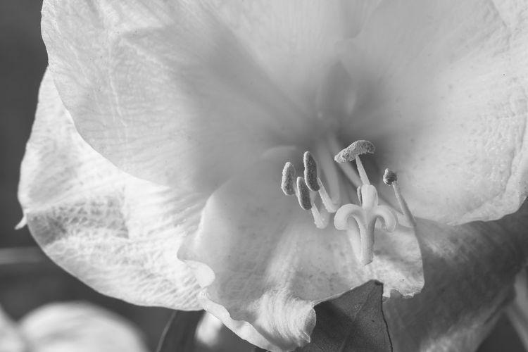 Fujifilm X-M1 mit Auto_Revuenon 50mm 1.9 & Vivitar MC Tele converter 2x-22.... mit dem Display meiner Kamera gesehen. Amaryllis immer wieder anders gesehen... Monochrome Monochrome_life Shotwithlove Fiftyshades_of_nature Jacquelineschreiber Eyeemoninstagram Indoor_photograhy Fujifilmglobal Dofnature Amaryllis Fujifilmxm1 Fujifilm Fujifilm_xseries Explore_dof No People Flower Head Flower Petal Close-up Flowering Plant