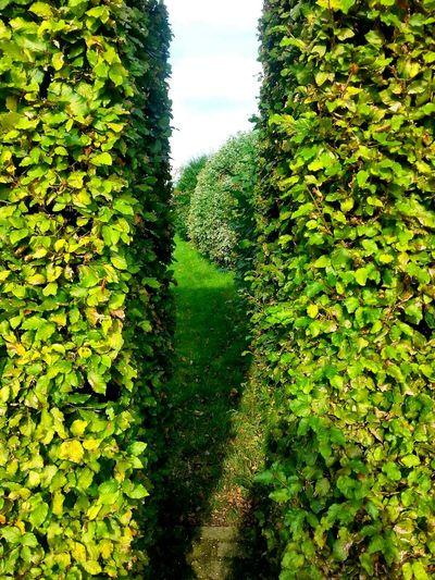 Hedge in formal garden