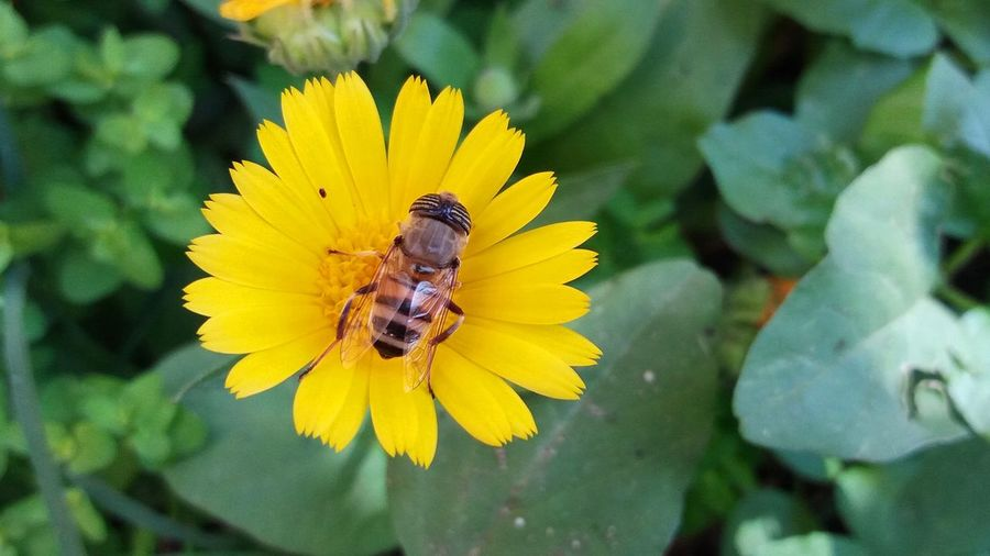 Bee Animal Themes Animal Wildlife Animals In The Wild Beauty In Nature Bee Blooming Close-up Day Flower Flower Head Fragility Freshness Growth Insect Nature No People One Animal Outdoors Petal Plant Pollination Yellow