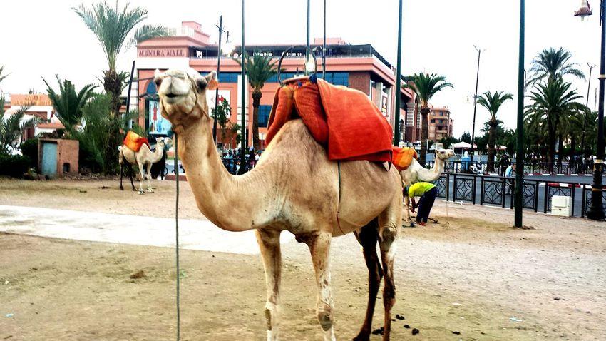 Marrakech Marrakesh Marrakech Medina, Morocco Marrakesh❤ Marrakech, My Love... Chameau Menara Menaramall Animal Photography Animalinmarrakech