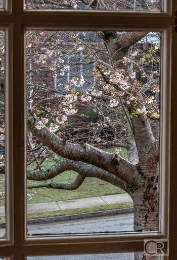 Spring through the window. Tree Growth No People Nature Day Bradford Pear Bloom Spring Spring Flowers Beauty Nature Beauty In Nature 365project