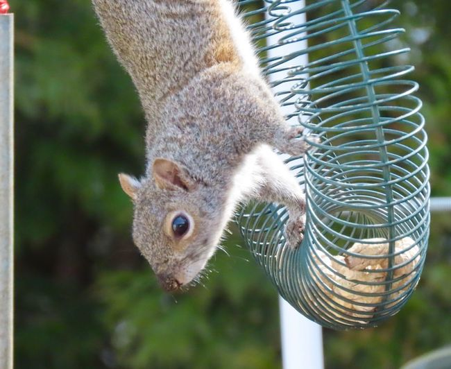 Squirrel just hanging around about to help himself to a peanut 🥜 animal themes focus on the foreground EyeEm nature lover outdoors One Animal Animal Wildlife Close-up No People