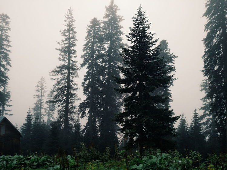Beauty In Nature Coniferous Tree Day Evergreen Tree Fog Foggy Forest Growth Landscape Natural Parkland Nature Outdoors Pinaceae Pine Tree Pine Wood Pine Woodland Scenics Sunset Tree Wilderness