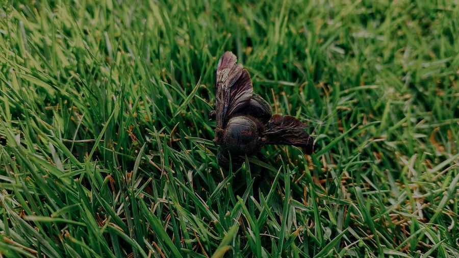 Bumblebee Insect Photography Insect Grass Lush Green PhonePhotography High Angle View Close-up Grass Green Color Bug