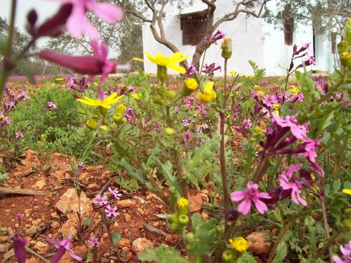 Rural House Spring Spring Flowers Springtime House Rural Olive Tree Yellow Flower Pink Flower Flower Growth Pink Color Plant Nature Purple Outdoors Beauty In Nature