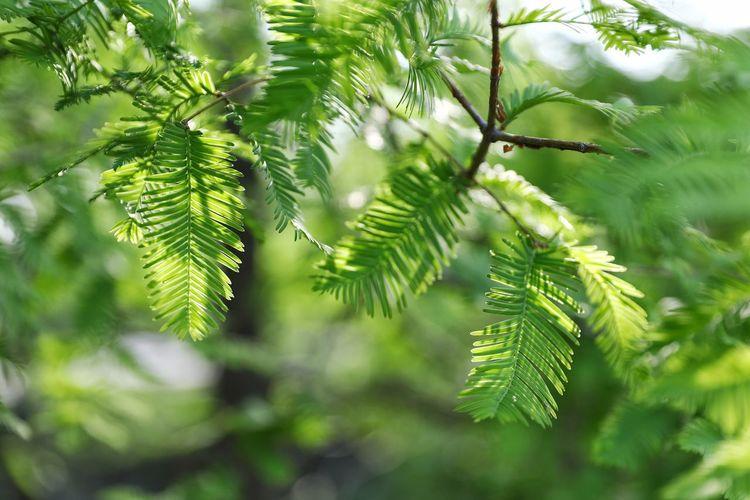 날씨좋고 빛좋고 공기좋고 기분도 좋고 ^^ . . #하루한컷 #선유도 #빛그림자 #초록 #5DMARK4 #신계륵 #EF2470F28LIIUSM Tree Branch Leaf Fir Tree Pine Tree Pinaceae Spruce Tree Needle - Plant Part Lush Foliage Close-up