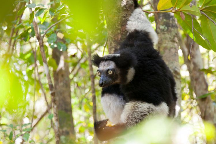 Indri at Akanin