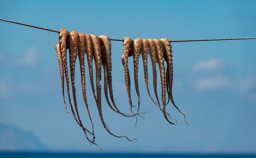 Traditional greek seafood - octopus hangs on a leash to dry