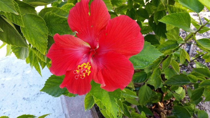 Flower Hibiscus 🌺 Half Moon Cay Flower Beautiful Red