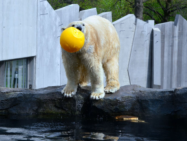 Animal Themes Ball Ball Is Life Cute Endangered Animals Leafs Mammal No People One Animal Playing Polar Bear Polar Bear In Pool Schönbrunn Zoo Vienna Zoo Water Zoo Animals  Zoophotography