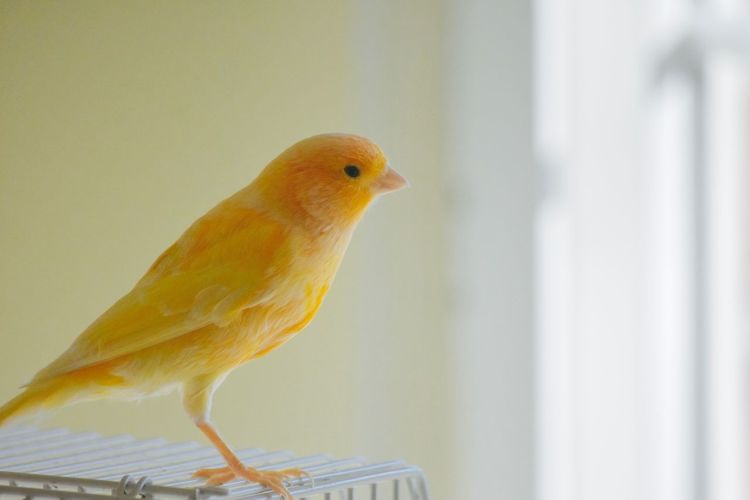 Beautiful canary finch looking out at the world Cute Pets Fly Away Looking Out The Window Animal Themes Beautiful Birds Bird Bird Watching Birdy Canaries Canary Concepts And Topics Cute Female Free The Birds Free The Canary Freedom Of Expression Little Pets Singing Bird Small Songbirds Standing On Cage White Background Yellow Your Wings Are Ready