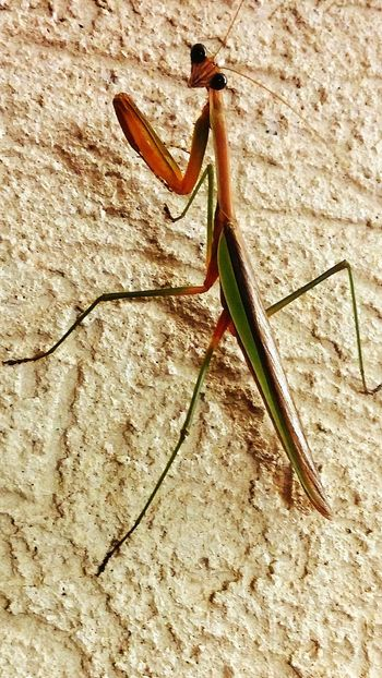 Hanging Out Check This Out Praying Mantis Nature EyeEm Nature Lover Eyeem Nature Insects