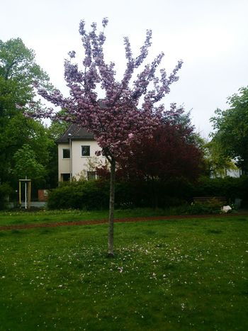 Tree Grass No People Day Outdoors Pink Color Tree Roses🌹 Springtime Spring Flowers Erlangen