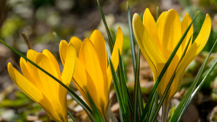 Yellow Flowering Plant Plant Flower Freshness Vulnerability  Fragility Petal Beauty In Nature Close-up Growth Flower Head Inflorescence Focus On Foreground Nature No People Day Field Springtime Selective Focus Crocus Iris Blade Of Grass