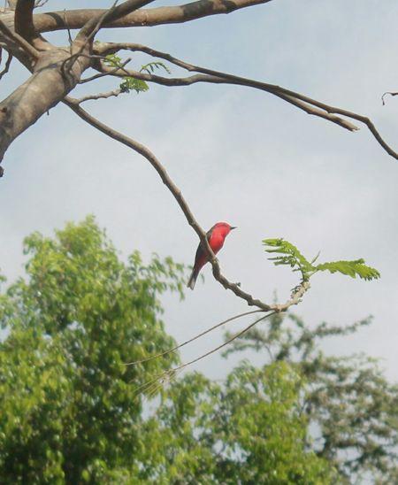 Mosquero cardenal, petirrojo, sangretoro... Flycatcher Bird Watching Red And Black Colour Vermilion Flycatcher Outdoors