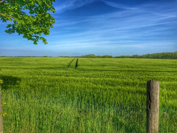 IPhone Iphoneonly IPhoneography Field Agriculture Farm Growth Nature Landscape Crop  Green Color Outdoors Grass