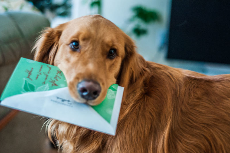 Close-up of golden retriever with greeting card at home