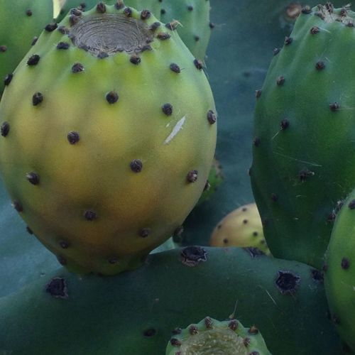 Dikenliincir Frenkinciri Cactus Green Color Close-up Fruit Food And Drink Food Growth No People Spiked Thorn Healthy Eating Freshness Nature Day Outdoors Beauty In Nature