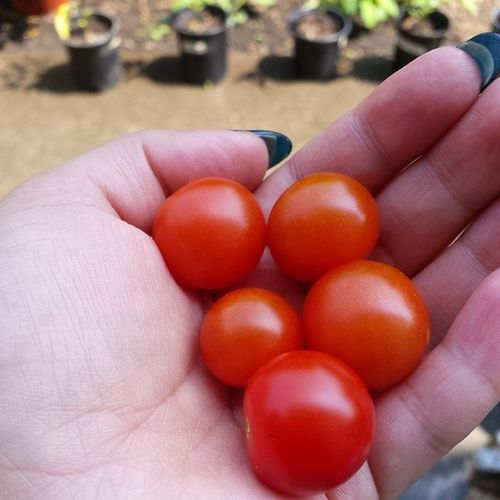 My first finished Cherrytomatoes !! They're sweet and delicious. Growyourfood Oregon Oregongrown fresh picoftheday tomatoes