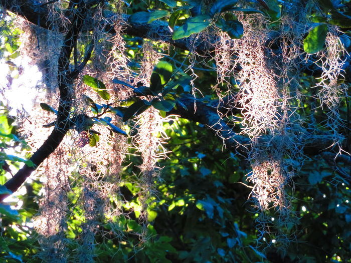 Spanish Moss at dawn Spanish Moss Dawn Tree Backgrounds Full Frame Sunlight Close-up Plant