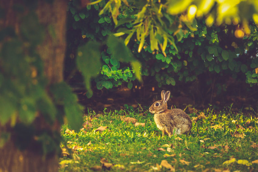 European Rabbit European Rabbit Animal Themes Animal Wildlife Animals In The Wild Common Rabbit Day Grass Green Color Growth Mammal Nature No People One Animal Oryctolagus Cuniculus Outdoors Rabbit The Great Outdoors - 2018 EyeEm Awards