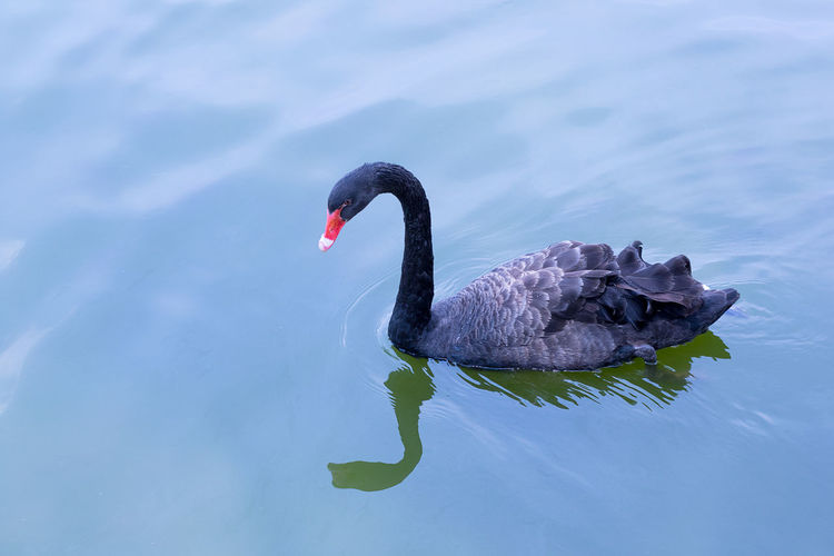 REFLECTION OF Black Swan IN WATER