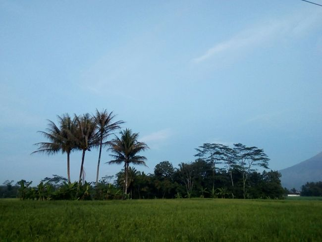 Tree Blue Palm Tree Sky Nature Landscape Beauty In Nature Agriculture Outdoors Freshness Landscape_photography Naturephotography