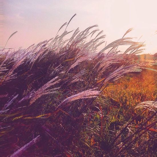 Growth Nature Plant Grass Outdoors Tranquil Scene Tranquility Field No People Sky Beauty In Nature Cereal Plant Timothy Grass Sunset Scenics Rural Scene Wheat Day Close-up